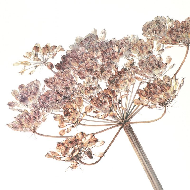 Autumn Hogweed