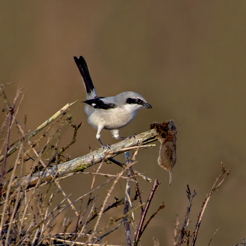 Great Grey Shrike-The Butcher Bird