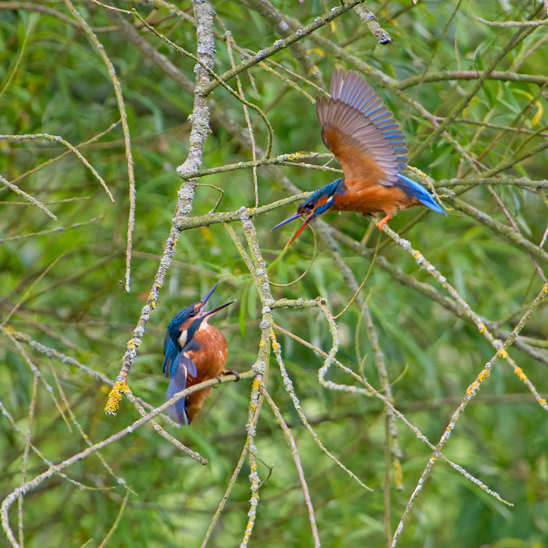 A Kingfishers Quarrel
